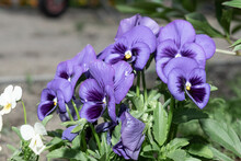 Variegated Blue And Purple Viola Flowers Grow In Your Garden, Viola Plant Of Different Colors.