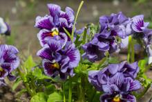 Variegated Blue And Purple Vio...