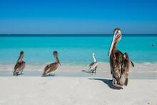 Pelican Shot At Cuba