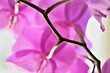 canvas print picture - Orchidee Patrizia