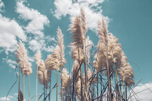 Pampa Grass With Light Blue Sk...