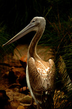 A Pelican Portrait Hit By A Be...