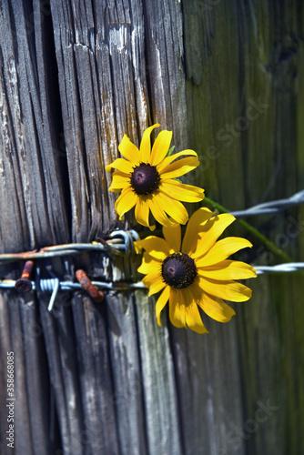 Fotografie, Tablou Barbed Wire Holds Black Eyed Susans