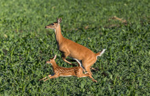 Mother Deer And Baby Run And Leap Through Grass Farm Field In Early Morning Baby Crosses Over