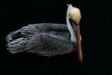 Brown Pelican Swimming Calmly.