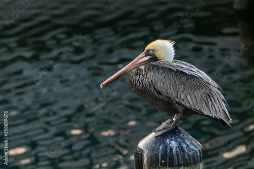 Brown pelican perched on a post. #358689676
