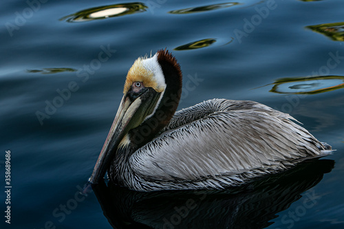 Brown pelican swimming calmly. #358689686