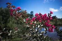 Pink Flowering Crape Myrtle Bu...
