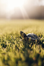 Sunkissed Golden Hour Photo Of A Turtle In A Field Of Grass