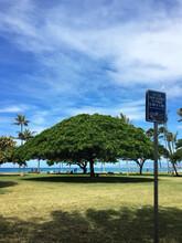 Monkeypod At Kapiolani Park In Waikiki, Honolulu, Oahu Island, Hawaii
