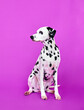 Leinwandbild Motiv dalmatian puppy