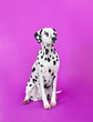 canvas print picture - dalmatian puppy