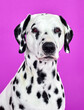 canvas print picture - portrait of a dalmatian dog