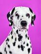 Leinwandbild Motiv portrait of a dalmatian dog