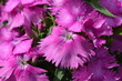canvas print picture - Dianthus caryophyllus pink flower close up