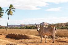 Zebu At Madagascar
