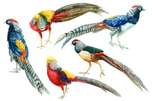 Set Of Colorful Birds, Pheasan...