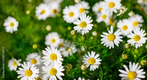 Fototapety, obrazy: Background of chamomile flowers, field chamomile, nature with blooming medical chamomile, medicinal plant, spring, summer