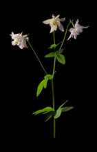 Three White Aquilegia Flowers ...