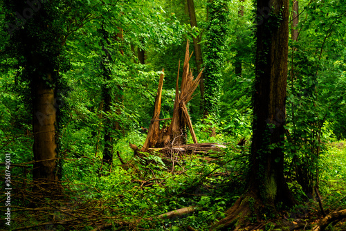 Photo forest in the summer , The stump of an aborted tree is tipped over in the storm