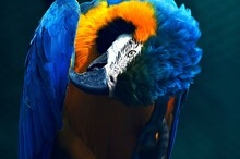 Blue And Yellow Macaw Ara Beau...