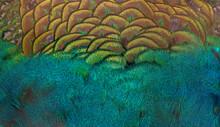 Closeup Peacock Feathers ,Beautiful Background, Wallpaper, Texture