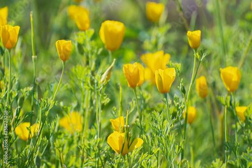 Fotografie, Obraz Meadow of yellow californian poppies flowers