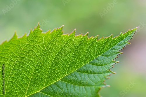 Valokuvatapetti Macro view of  serrated green leaf  of dewberry on blurred light  green floral b