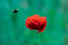 Detail Of Isolated Red Poppy (...