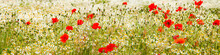 Wild Red Poppies And Camomile On The Green Field In The North Of France, Normandie. Bright Flower Blossom In June. Sunny Day, Blue Sky, White Clouds. Beautiful Landscape. Banner