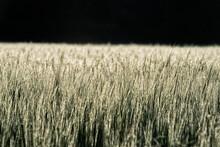 Weizen Feld.