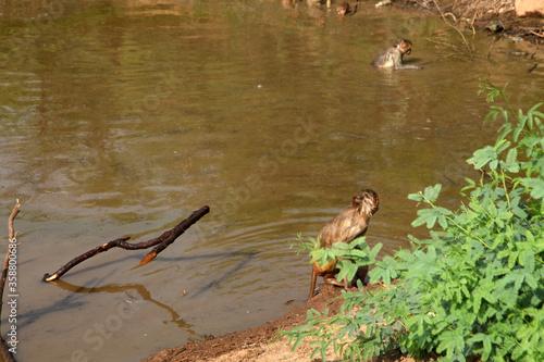 mountain forest lake,  monkies enjoying at water Canvas Print