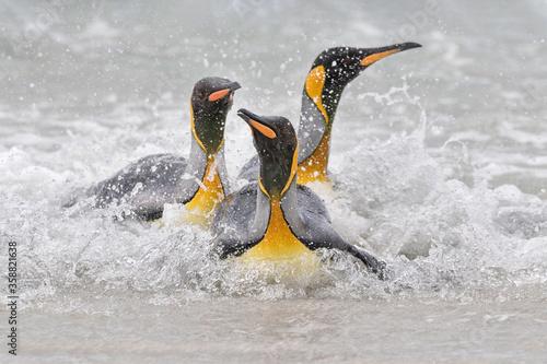 Photo King Penguins coming ashore