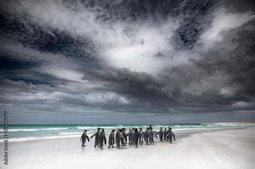 A group of King penguins on Volunteer beach in the Falklands Billede på lærred
