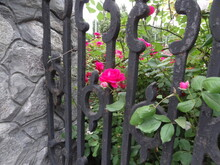 Rose And Forged Fence