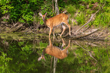 Female White-tailed Deer Reflected In Calm Water