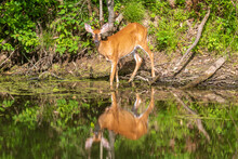 Female White-tailed Deer At Water's Edge