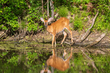 Female White-tailed Deer Facing The Camera Near Water
