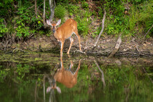 Female White-tailed Deer With An Injured Eye Reflected In Water