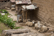 A Group Of Sheep Resting In Ho...