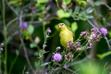 An American GoldFinch (Female)...