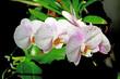 Kwiat biały storczyk