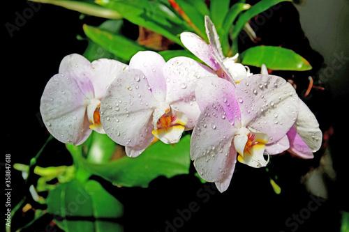 Obraz Kwiat biały storczyk - fototapety do salonu