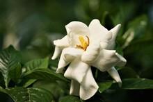 Beautiful And Fragrant Gardeni...