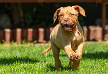 Mabel, An 8 Week Old Dogue De ...