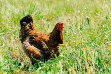 A Motley Adult Chicken With Br...