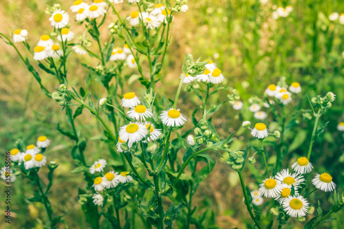 Nature in summer, wild flowers in meadow Canvas Print
