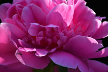 Blooming Pink Peony Close-up. ...