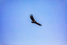 A Turkey Vulture Takes Flight 1