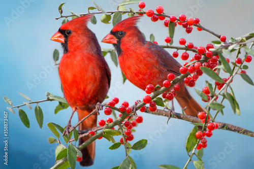Photo Male Northern Cardinals Perched on Berry Laden Branches in Holly Tree